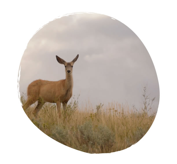 Deer at Grasslands National Park